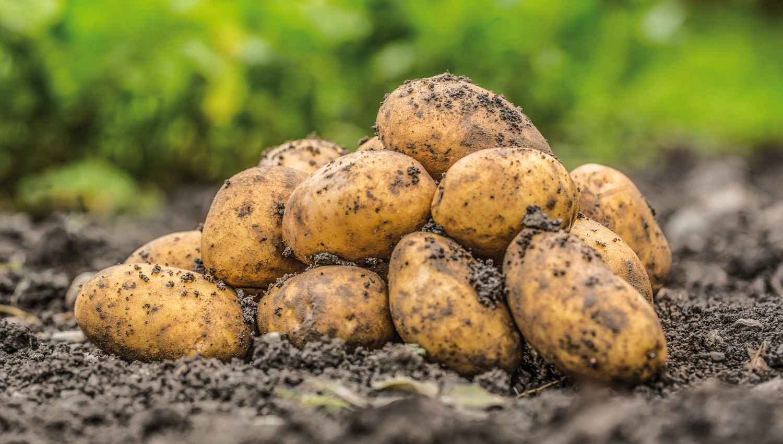 Lagerung von Kartoffeln